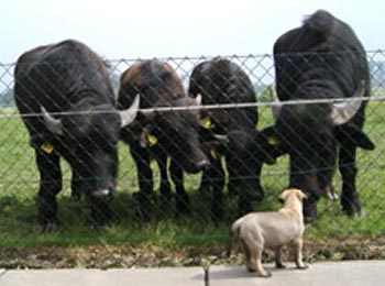 waterbuff boerderij