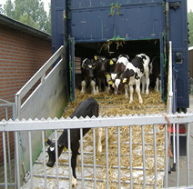 kalvtransport boerderij