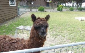 Alpaca's Camping de Muk Winssen