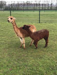 Alpaca Noud geboren 6-6-2019 Camping de Muk