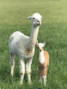 Alpaca Nigel en mama geboren 17-7-2019 Camping de Muk